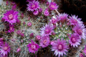 cactus floare
