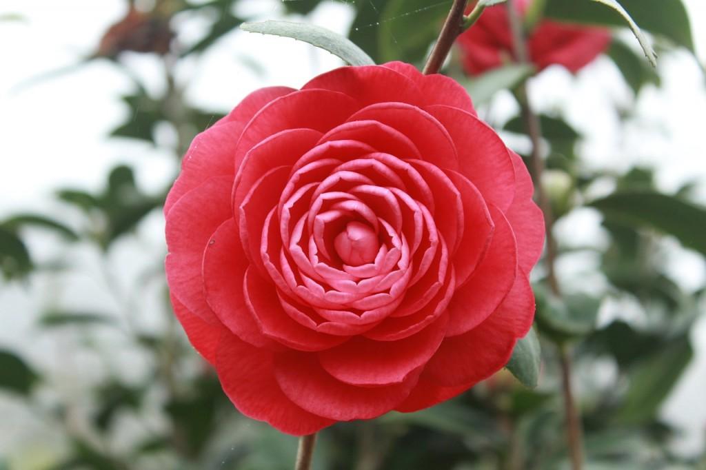 camellia-689823_1280