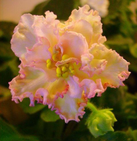 violeta de parma