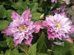 clematita piilu flori duble