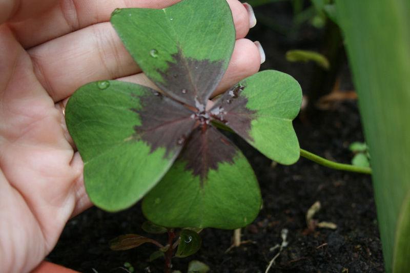oxalis frunza