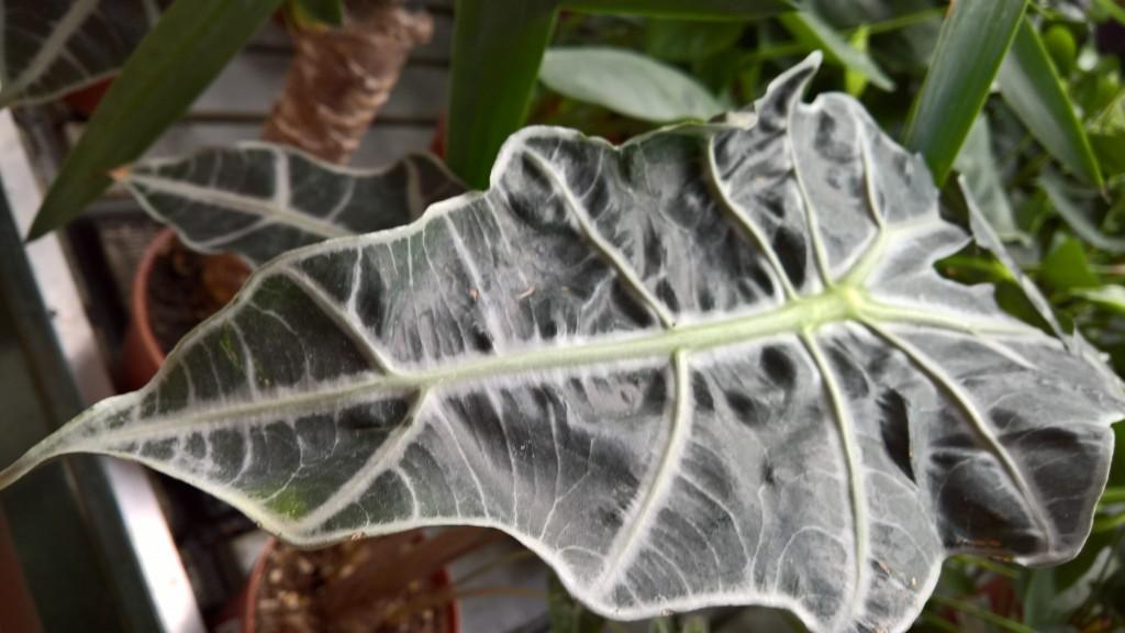 alocasia frunza