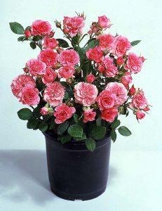 Miniature_Roses
