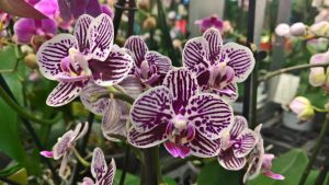 orhidee phalenopsis