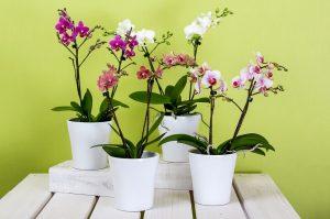 orhidee tije