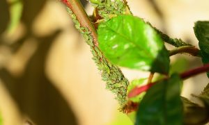 paduchele verde al trandafirului