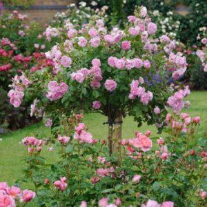 trandafir copacel