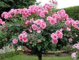 trandafir pe picior