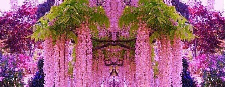 Planta glicina serie de flores de primavera espaldar de for Glicina planta