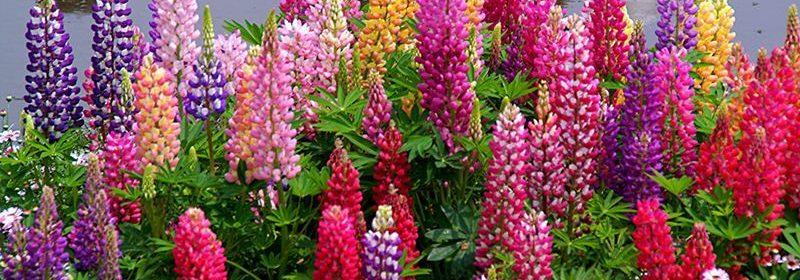 Lupinul 80 de flori pe tija in acelasi timp ingrijirea for Glicina planta