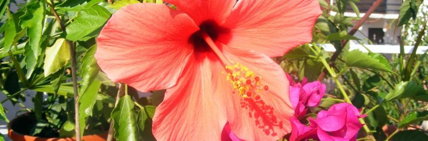 taiem iarna hibiscusul