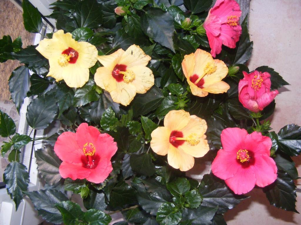 hibiscusi