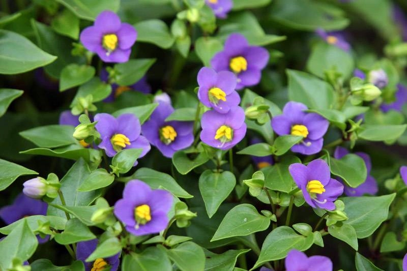 violeta de Persia