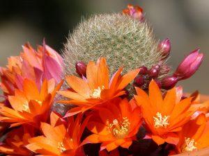 flori cactus