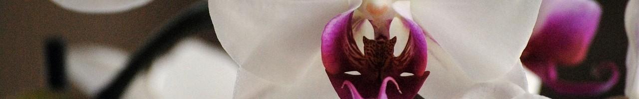 reinflorirea orhideelor