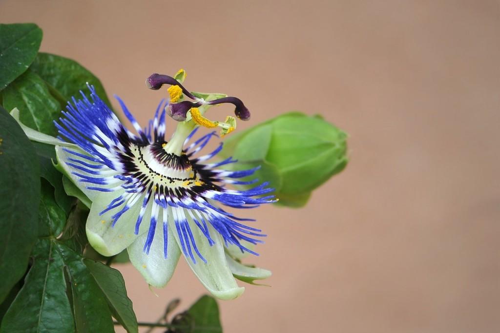 passiflora 2