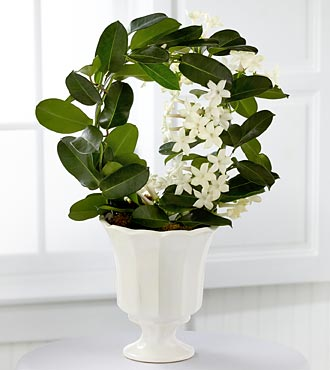 Stephanotis 2