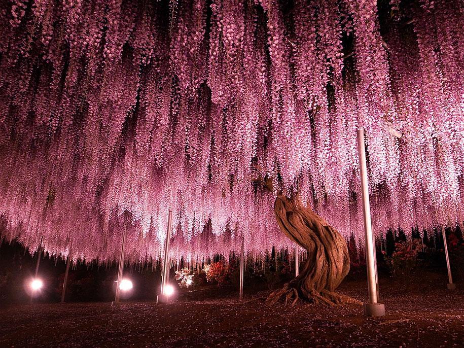 glicina roz