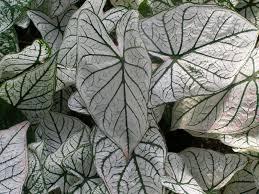 calladium alb