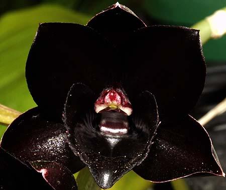 orhidee neagra 2