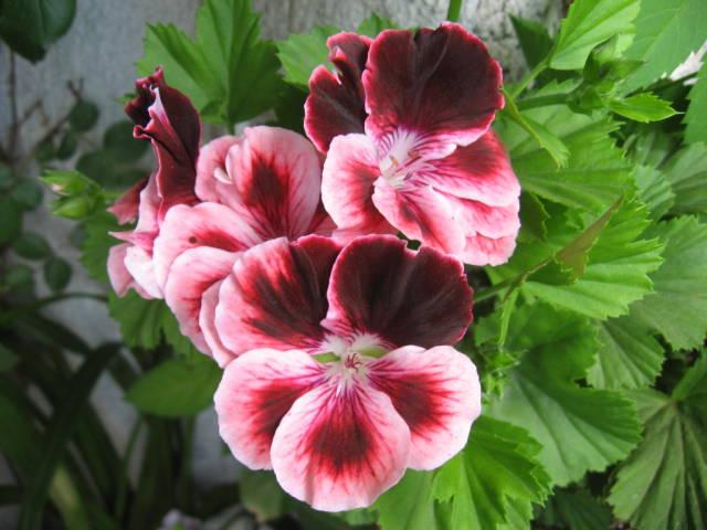 pelargonium grandiflorum 1
