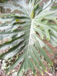 philodendron frunza