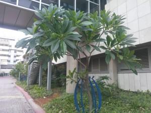 plumeria copac