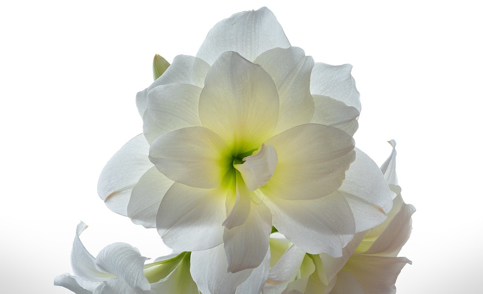 amaryllis alb