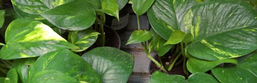plante de interior care cresc rapid