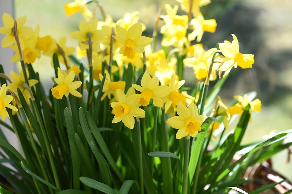 Narcissus tazetta