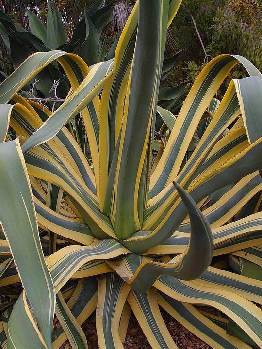agave marginata
