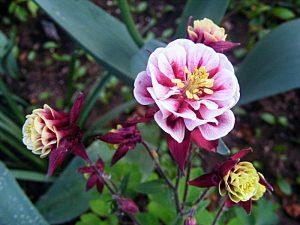 caldarusa rosie