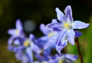 chinodoxa albastru