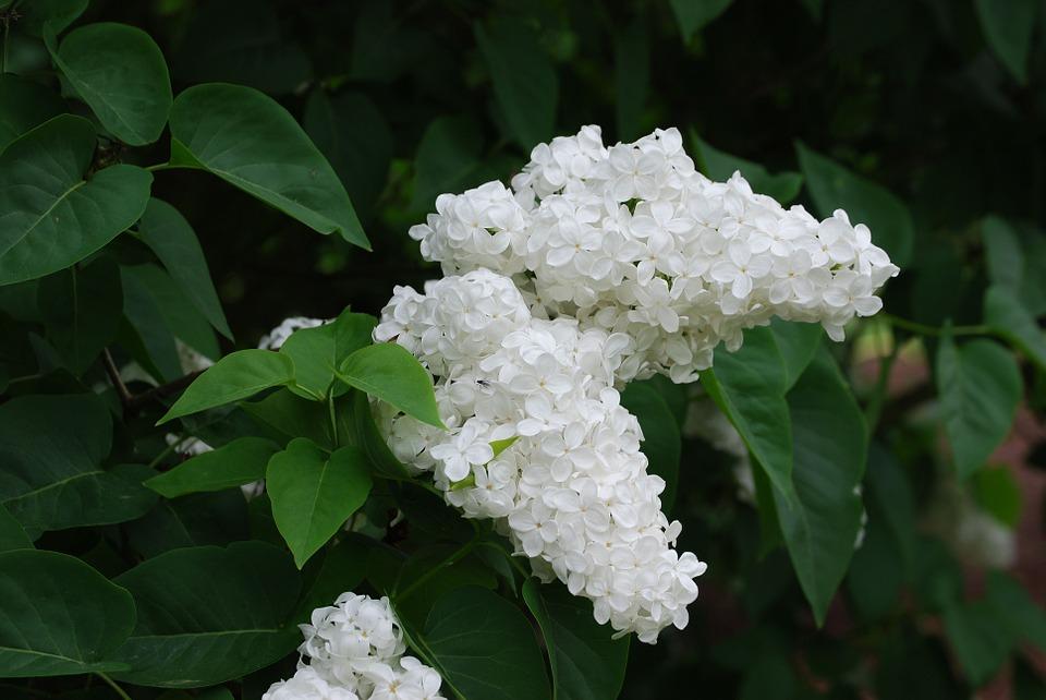 cele mai parfumate flori