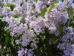 liliac lila