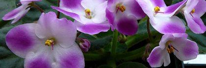 violetele africane