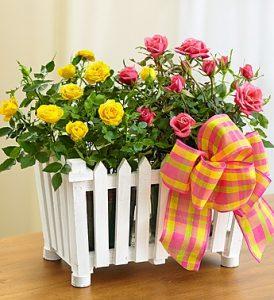 trandafirii pitici
