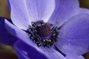anemona albastra