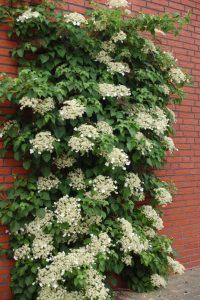 hortensia cataratoare