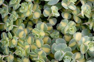 sedum variegat
