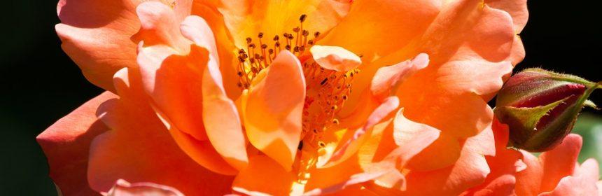 stropim trandafirii toamna