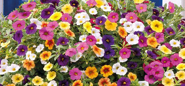 plante curgatoare