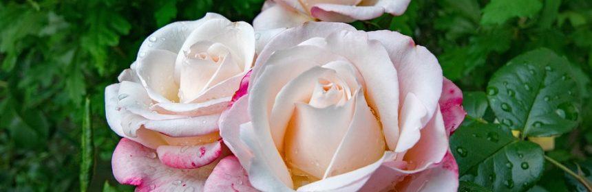 dacă o trandafir ajută la varicoză