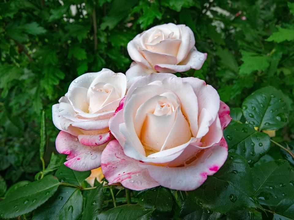 Solduri de trandafiri utile sau dăunătoare pentru varice