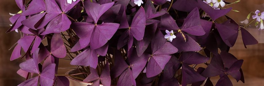 oxalis triangularis, trifoi