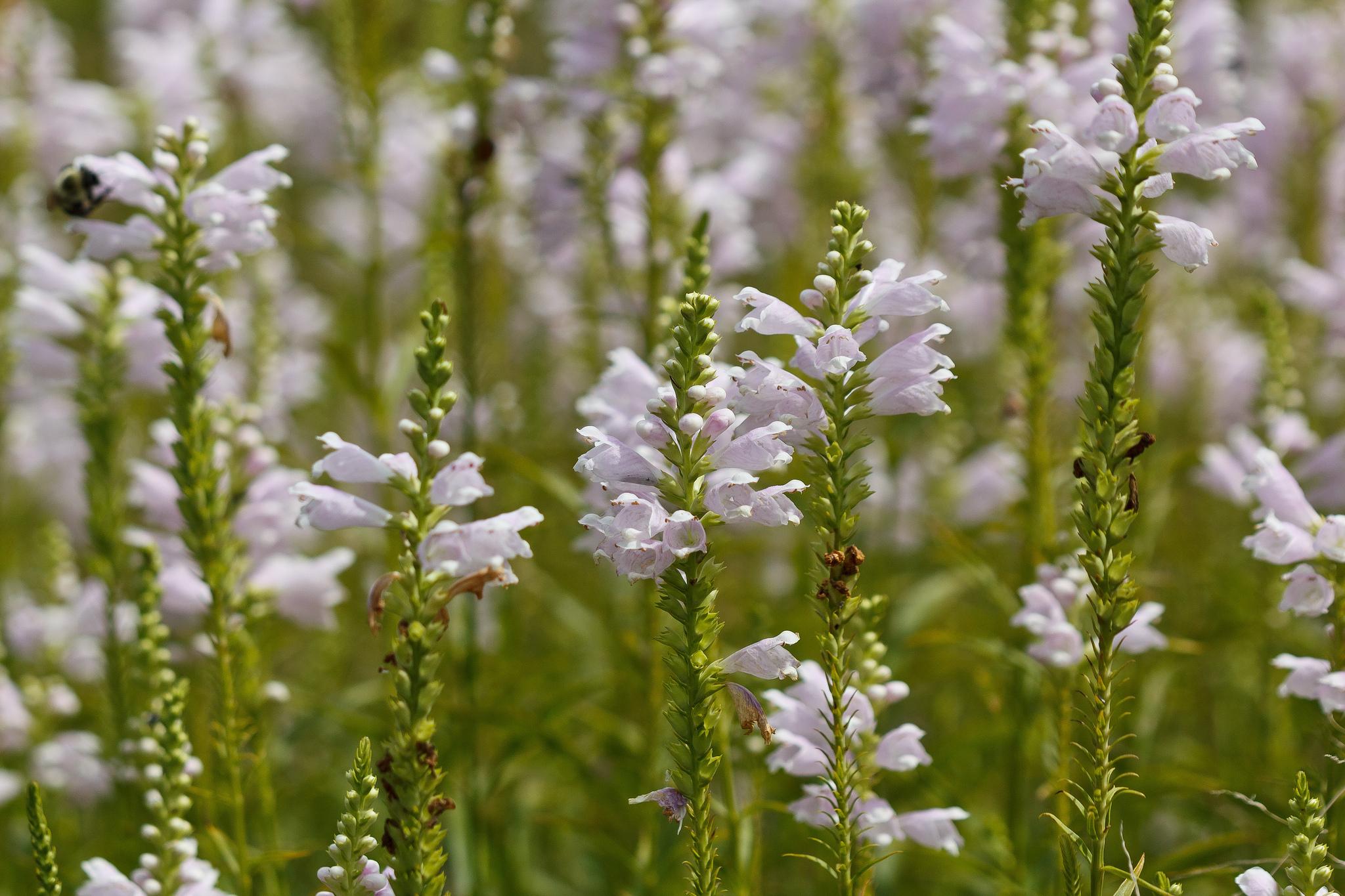 Fisostegia, planta obedienta care iubeste soarele