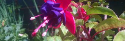 cercelusi plini de flori
