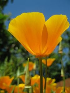 Eschscholzia californica, macul californian