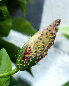 cad bobocii de hibiscus
