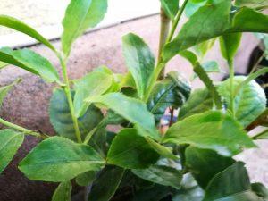 arborele de ceai